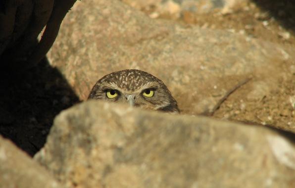 Picture owl, stone, ambush