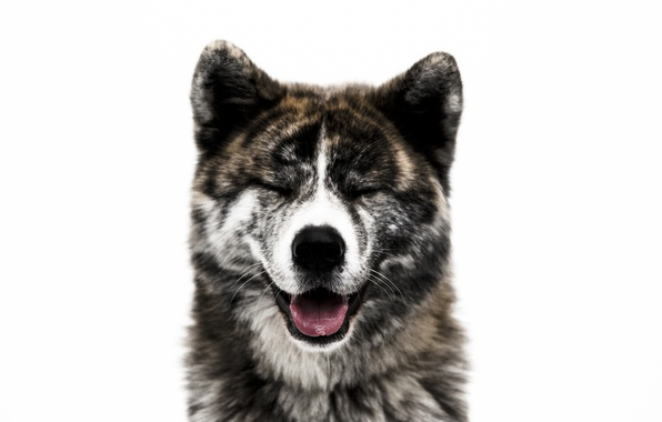 Picture face, each, dog, wool, nose, Akita inu