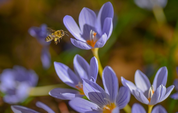 Picture macro, bee, spring, crocuses, insect, saffron