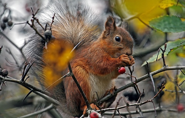 Picture TREE, TAIL, FLUFFY, PROTEIN, BRANCHES, BERRIES