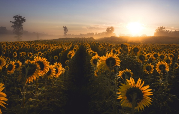 Picture sunflowers, fog, morning