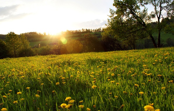 Picture forest, grass, the sun, rays, trees, flowers, glade, dandelions, Blik, yellow