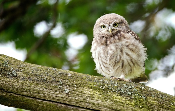 Picture owl, log, chick, owl