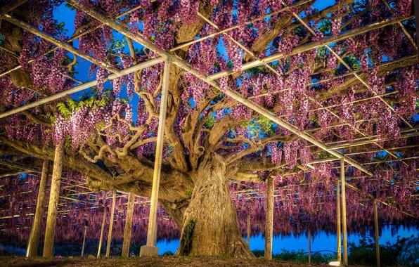 Picture photo, Nature, Japan, Park, Wisteria, Ashikaga, Flower Park