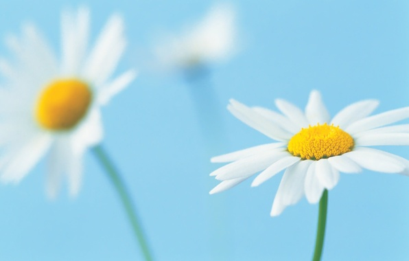 Picture flower, macro, background, blue, petals, Daisy, white
