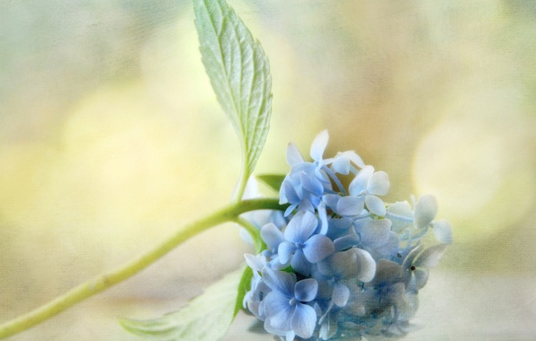 Picture leaves, glare, background, texture, blue, hydrangea