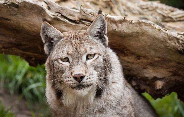 Picture cat, look, face, snag, lynx