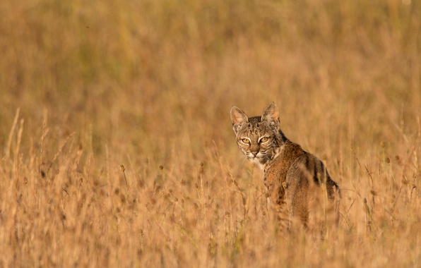 Picture grass, look, predator, lynx, dry
