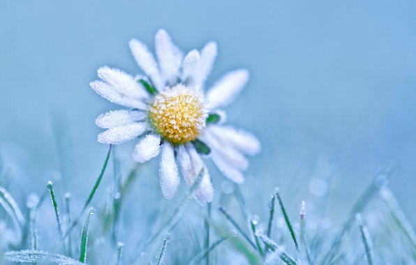 Picture frost, nature, Daisy