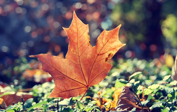Picture autumn, grass, the sun, light, sheet, dry, maple