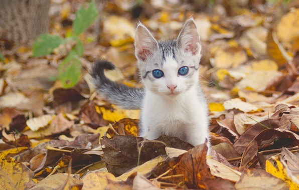 Picture autumn, look, leaves, baby, kitty, blue eyes