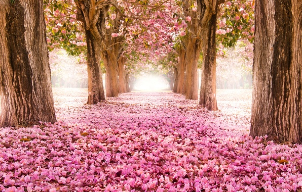 Picture road, trees, flowers, nature, Park, Sakura, pink, alley, flowering