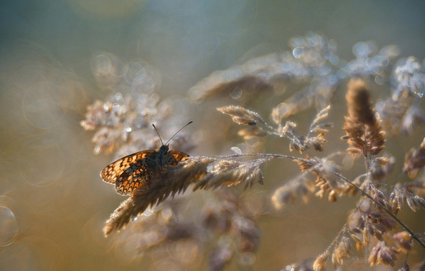 Picture macro, glare, butterfly, spikelets, insect, bokeh