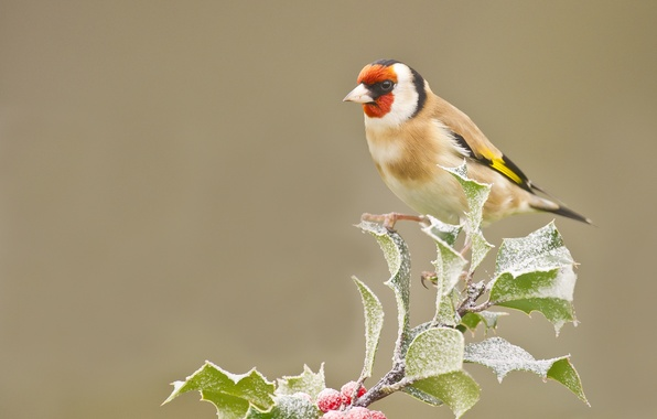 Picture frost, leaves, berries, bird, branch, goldfinch