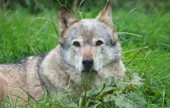 Picture look, background, wolf, predator