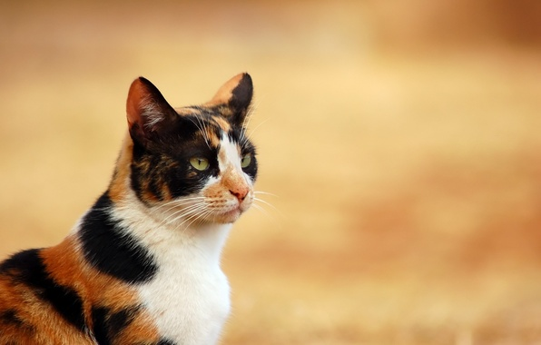 Picture cat, white, cat, black, red, pet, tri-color