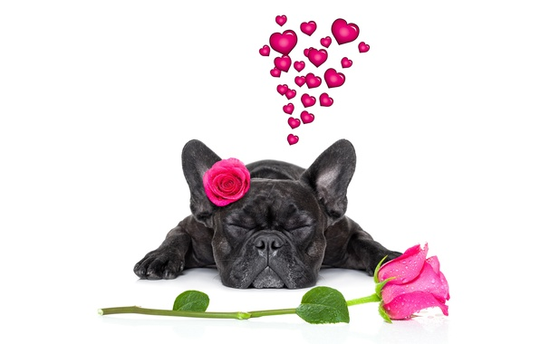 Picture dog, love, rose, heart, dog, romantic, funny, cute