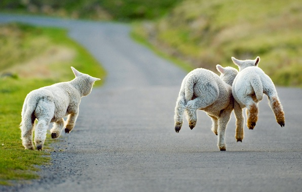 Picture road, New Zealand, lambs, Christchurch