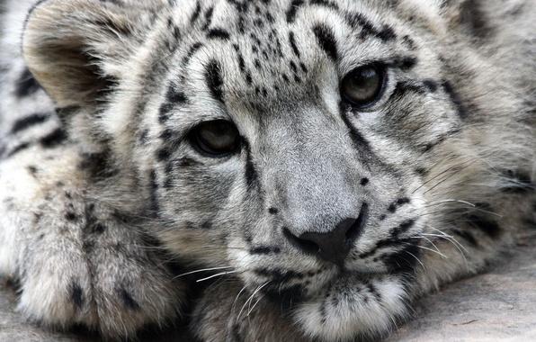 Picture face, predator, Snow Leopard, IRBIS, snow leopard
