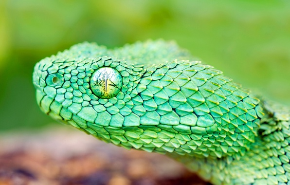 Picture eyes, snake, head, scales, reptile