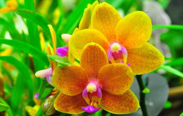 Picture leaves, macro, nature, plant, petals, Orchid