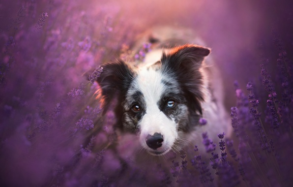Picture look, face, flowers, dog, lavender, The border collie