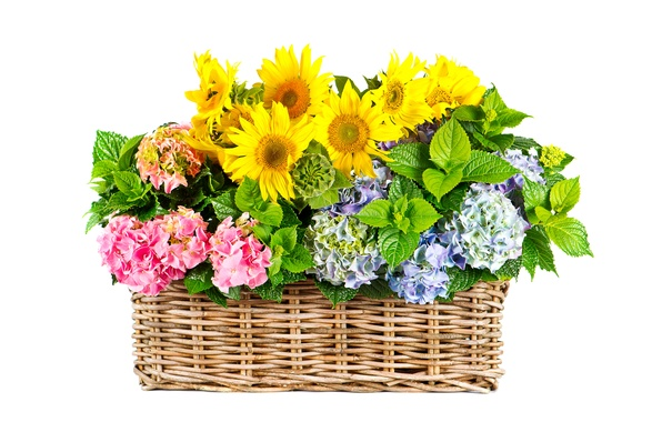 Picture leaves, sunflowers, flowers, basket, yellow, white background, hydrangea