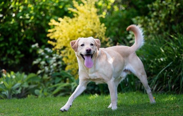 Picture language, grass, dog, Labrador, dog