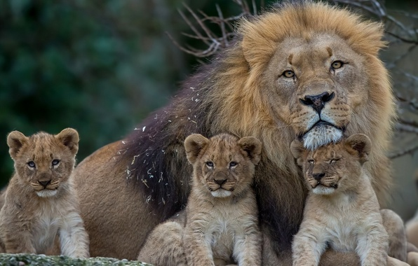 Picture Leo, mane, kittens, lions, the cubs, fatherhood, cubs
