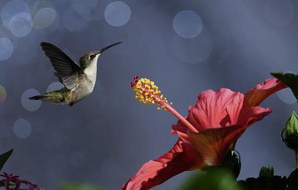 Picture flower, birds, nature, Hummingbird, bird, bokeh, hibiscus