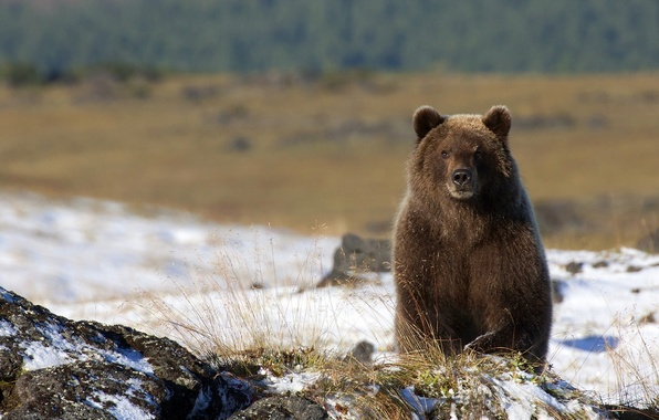 Picture nature, background, bear