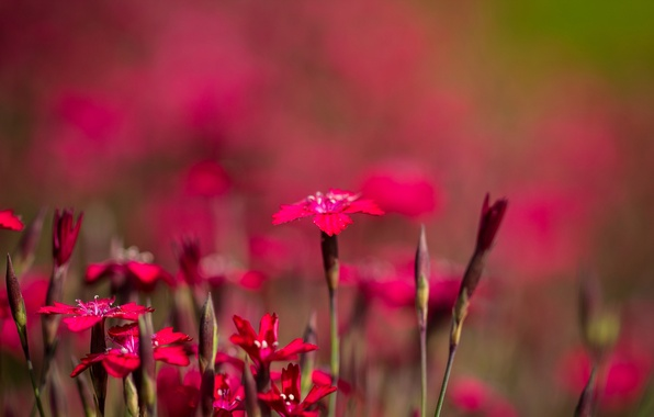 Picture field, nature, petals, garden, meadow, Chinese carnation