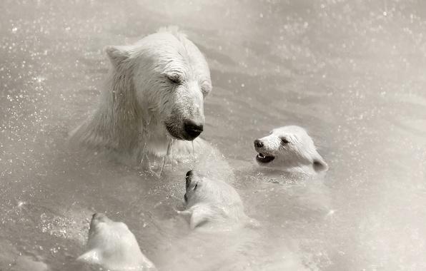Picture white, bear, bears, bear, Ursus maritimus