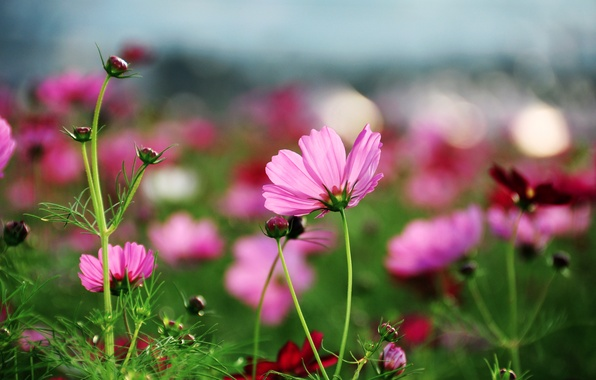 Picture summer, grass, macro, flowers, glade, bright, plants, petals, pink, kosmeya