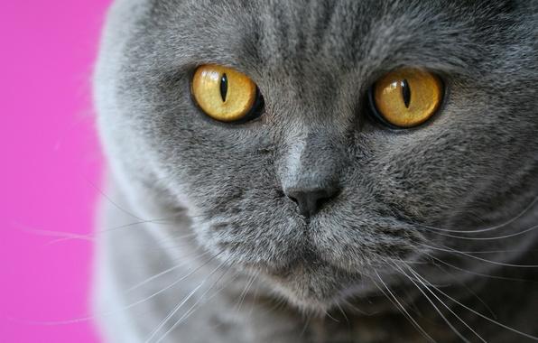 Picture cat, eyes, cat, mustache, look, muzzle, British Shorthair