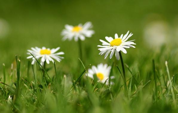 Picture grass, petals, blur, white, Daisy