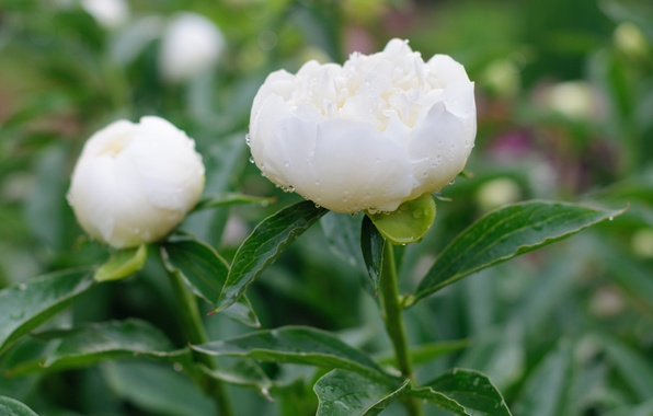 Picture white, petals, peony