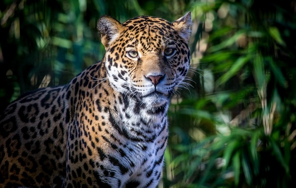 Picture face, foliage, shadow, predator, spot, Jaguar, wild cat