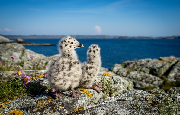 Picture nature, seagulls, Norway, Chicks