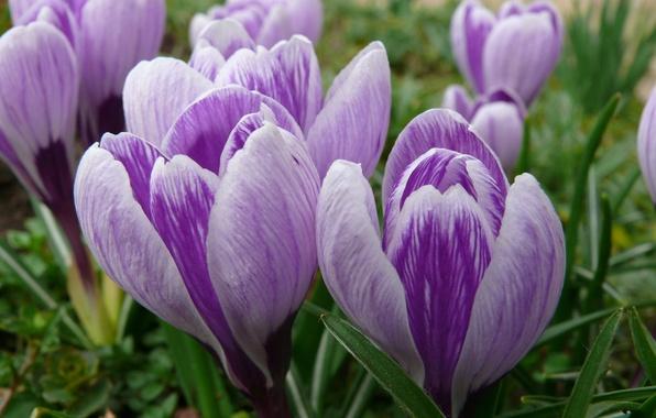 Picture macro, flowers, spring, crocuses, buds, primrose