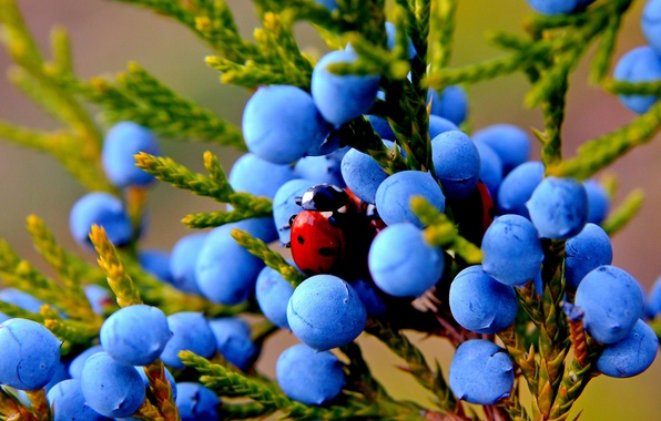 Picture autumn, macro, nature, berries, plant, ladybug, fruit, insect, juniper