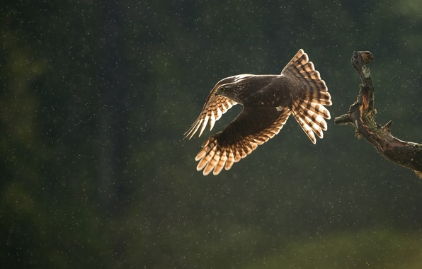 Picture autumn, drops, flight, rain, bird, predator, branch, Sparrowhawk