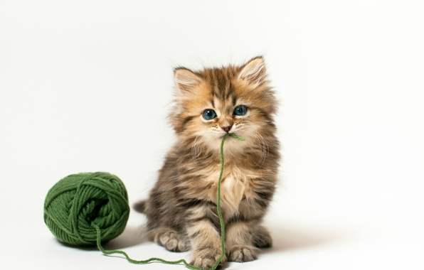 Picture cat, tangle, kitty, the game, white background, Daisy, © Benjamin Torode, green thread
