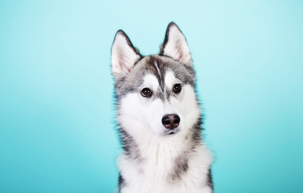 Picture Dog, Look, Husky
