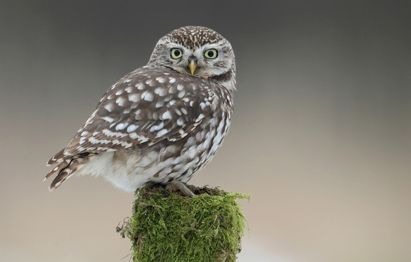 Picture owl, bird, moss, stump, tail, owlet