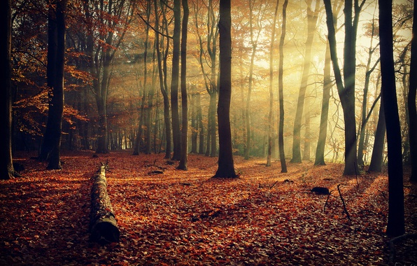 Picture autumn, forest, rays, light, trees, branches, nature, foliage