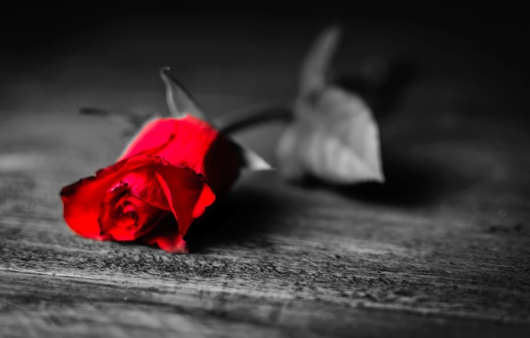 Picture leaves, flowers, loneliness, background, black and white, Wallpaper, rose, petals, leaf, red, longing, widescreen, full …