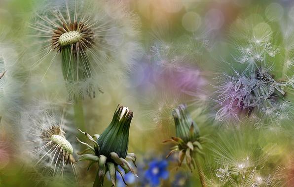 Picture summer, macro, spring, dandelions