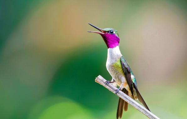 Picture bird, branch, beak, Hummingbird