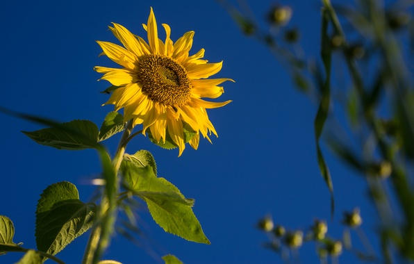 Picture field, flower, the sky, leaves, sunflower, petals